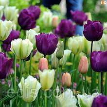 Арт-набір Ментол 9 цибулин тюльпанів