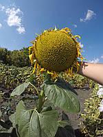 Семена подсолнечника Лимит