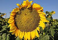 Семена подсолнечника АРАКАР (A-F) Clearfield® (105-110)