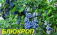 """Саженцы голубики """"Блюкроп"""" (Bluecrop)"""