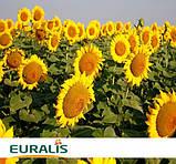 Семена подсолнечника Euralis ЕС Тундра, фото 2