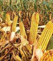 Кукуруза МТ 261