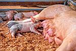 Содержание и ветеринарная обработка поросят-сосунов