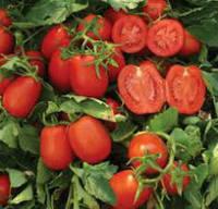 Семена томата детерминантного Дельфо F1 Nunhems 5 000 шт