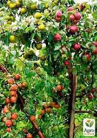 """Эксклюзив! Дерево-сад Яблоня """"Деличия+Амулет+Лигол+Джонаголд"""""""