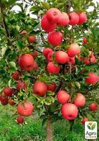 """Эксклюзив! Дерево-сад Яблоня """"Деличия+Амулет+Дельбар"""""""