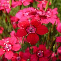 Гвоздика травянка красная, фото 1