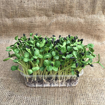 Микрогрин микрозелень подсолнух , фото 2