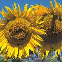 Семена подсолнечника Анастасия (А-F), фото 1