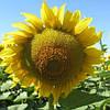 Семена подсолнечника Равенна (Бомбардиер) (A-G)