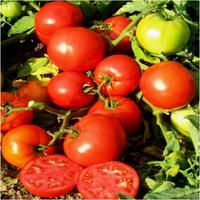 Семена томата детерминантного Джем F1 Ergon 500 шт