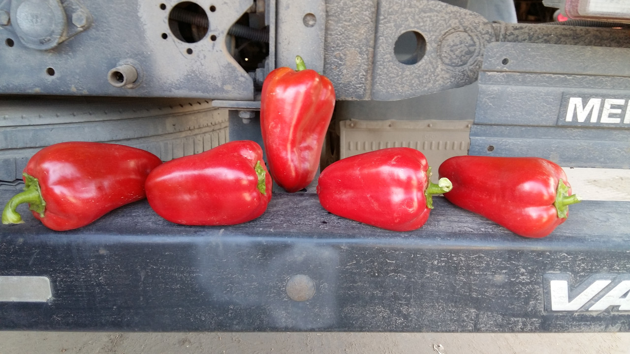 Семена перца Подарок Молдовы на вес.