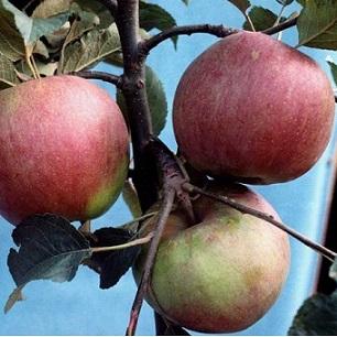 Саженцы яблони сорт Внучка
