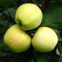 Саженцы яблони сорт Кальвиль снежный