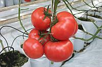 Семена томата индетерминантного Оазис F1 Clause 250 шт