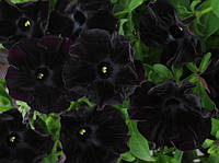 Семена Петуния крупноцветковая Софистика Блекберри F1,  100 семян Pan American