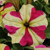 Семена Петуния крупноцветковая Софистика Лайм Биколор F1,  100 семян Pan American