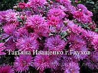 Хризантема бордово-лиловая  РАННЯЯ-август 111