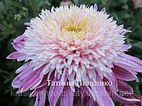 237 Хризантема корейская ДИАНА (ранняя с августа)