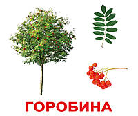 """Карточки большие украинские с фактами, ламинированые """"Дерева"""" 20 карт., в кул. 16,5*19,5см(094415)"""