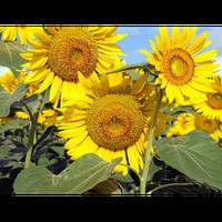 Семена подсолнечника ЕС Вероника (Euralis )