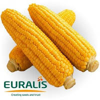 Семена кукурузы Евралис Семенс ЕС Бриллиант ФАО 350