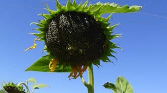 Семена подсолнечника Антей
