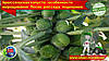 Брюссельская капуста – особенности выращивания. Посев, рассада, подкормка.