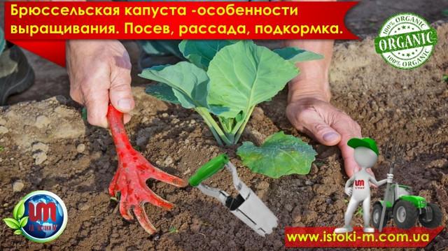 посадка и уход за рассадой брюсельской капусты