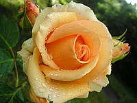 Роза чайно-гибридная Версилия  (Фасовка: 1 шт.)
