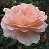 Роза чайно-гибридная Вивальди (Фасовка: 1 шт.)