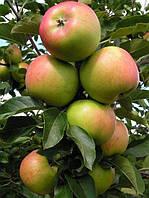 Яблоня Топаз (Фасовка: 1 шт.)