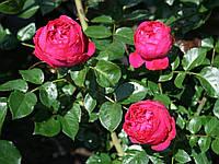 Ред Эден Роуз (Фасовка: 1 шт.)