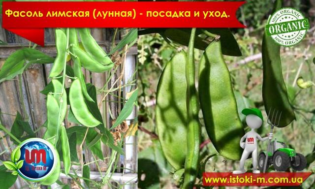 фасоль лимская_органические удобрения для подкормки фасоли_посадка фасоли_грунт для фасоли