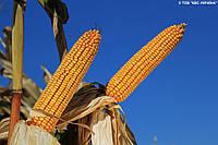 Семена кукурузы Карифолс от производителя КВС (KWS)