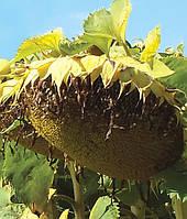Семена подсолнечника МГ305КП от производителя Дау Сидс (Dow Seeds)