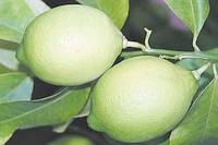 Саженцы лимона Новогрузинский (контейнер)