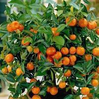 Саженцы мандарина Коване -Васе (контейнер)