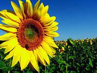 Насіння гібриду соняшника Солтан