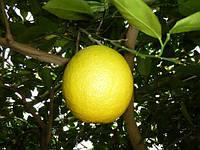 Саженцы апельсина Гамлин (контейнер)