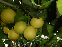 Грейпфрут Дункан (контейнер)