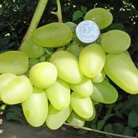Виноград Бажена (контейнер)