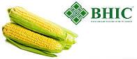 ВНИС Семена кукурузы Амарок 290 (ФАО 320)