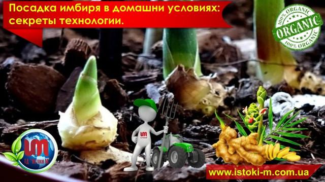 все о выращивании имбиря_секреты выращивания имбиря_технология выращивания имбиря