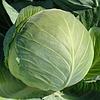Семена капусты б/к Муксума F1, от 1000 шт, Rijk Zwaan