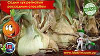 Садим лук репчатый рассадным способом