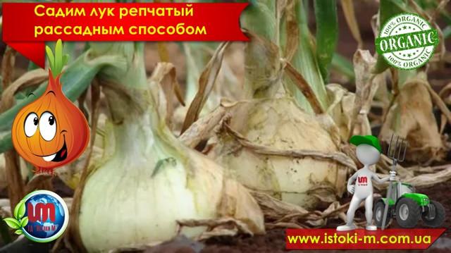 как вырастить рассаду репчатого лука_подкормка репчатого лука_удобрение для лука