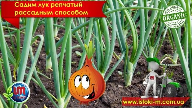 как вырастить репчатый лук_репчатый лук рассадным способом_подкормка лука_органическое удобрение для лука_грунт для рассады лука_посадка лука