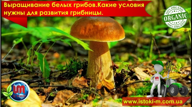 как вырастить белый гриб дома