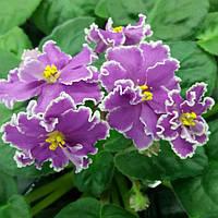 Цветущая фиалка Боярыня